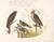 Animalia Volatilia et Amphibia (Aier): Plate VI