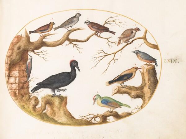 Animalia Volatilia et Amphibia (Aier): Plate LXIX