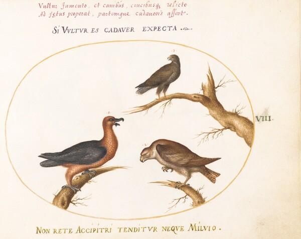 Animalia Volatilia et Amphibia (Aier): Plate VIII