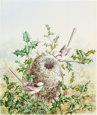 Coral Buntings and Their Nest in a Holly Tree