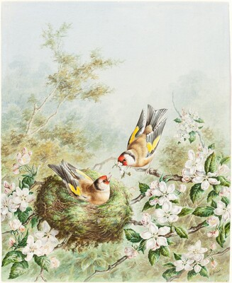 Gold Finches and Their Nest in an Apple Tree