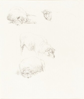 Studies of Sheep