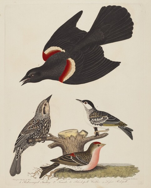 Red-winged Starling, Female Red-winged Starling, Black-poll Warbler, and Lesser Red-poll