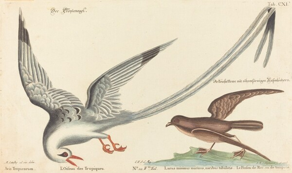 The Tropic Bird (Phaeton aethereus)