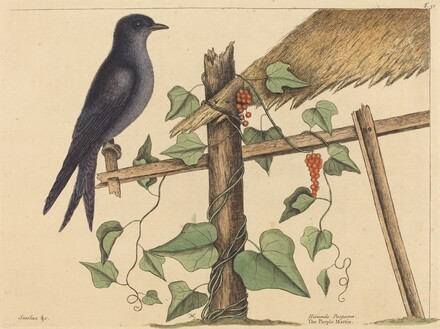 The Purple Martin (Hirundo purpurea)