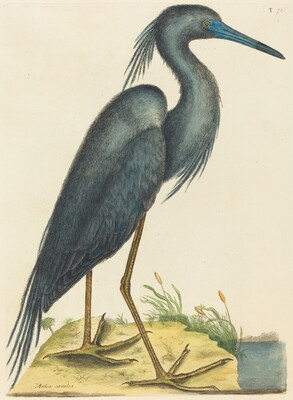 The Blue Heron (Ardea coerulea)