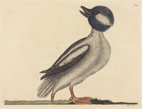 The Buffel's Head Duck (Anas bucephala)