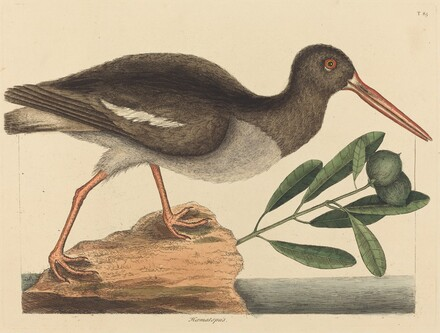 The Oyster-catcher (Hoematopus ostralegus)