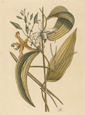 The Vanelloe (Epidendrum Vanilla)