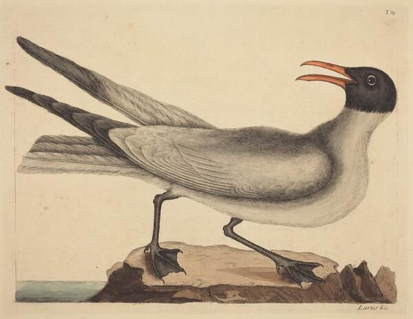 The Laughing Gull (Larus articilla)