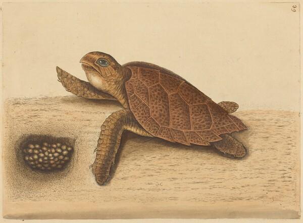 The Hawks-bill Turtle (Testudo caretta)