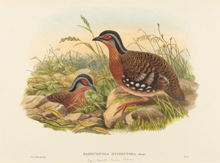 Rufous-breasted Bamboo Partridge (Bambusicola Hyperythra)