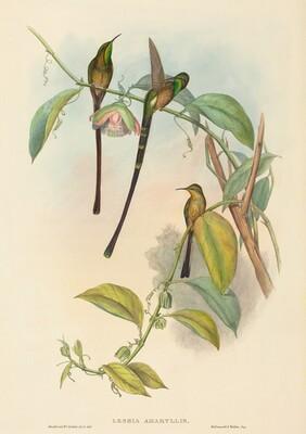 Lesbia Amaryllis