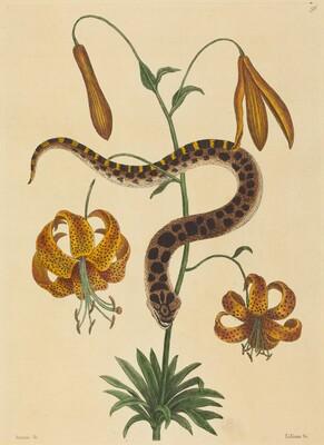 The Hog-nose Snake (Boa contortrix)