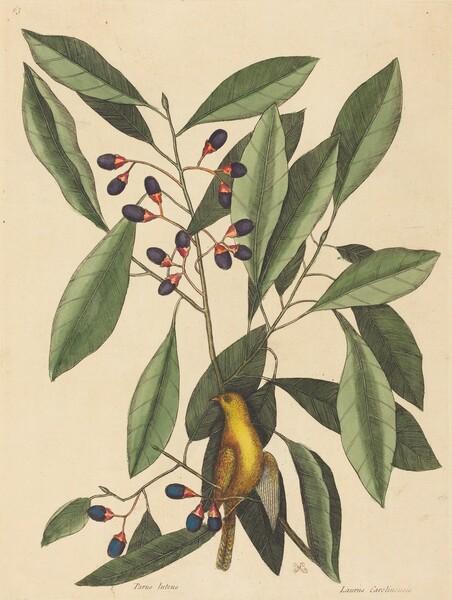 The Yellow Titmouse (Motacilla trochilus)