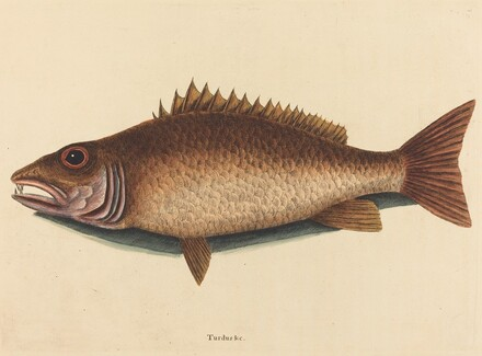 The Mangrove Snapper (Labrus griseus)