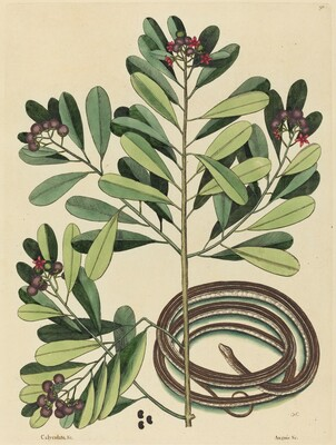 The Ribbon Snake (Coluber saurita)
