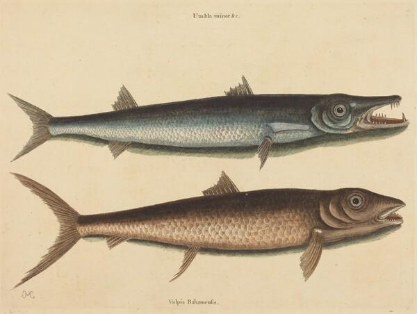 The Barracuda (Esox barracuda)