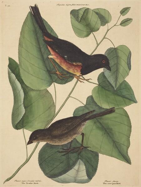 The Towhe Bird (Fringilla erythrophthalma)