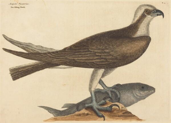 The Fishing Hawk (Falco haliaetus)