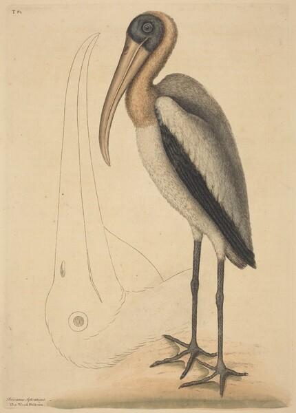 The Wood Pelican (Tantalus Loculator)