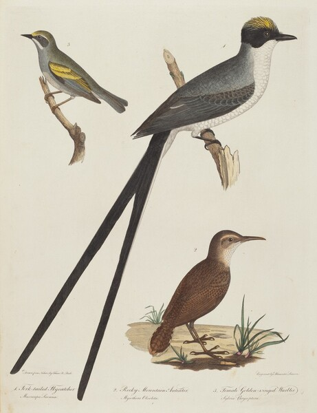 Fork-tailed Flycatcher, Rocky Mountain Anteater, and Female Golden-winged Warbler