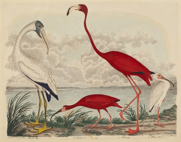 Wood Ibis, Scarlet Ibis, Flamingo, and White Ibis