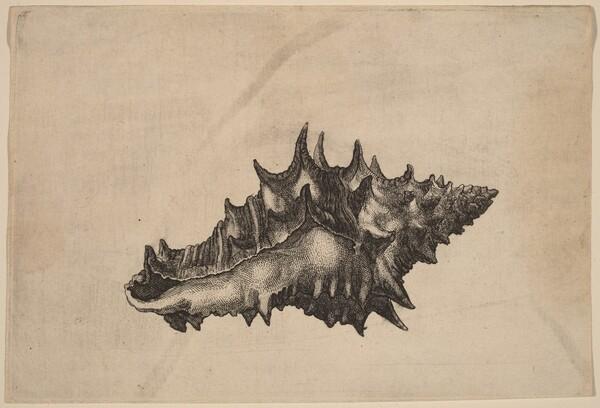 Shell (Vasum ceramicum)