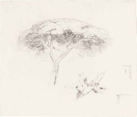Umbrella Pine and Other Studies