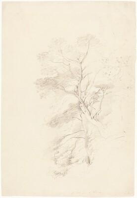 A Beech Wood